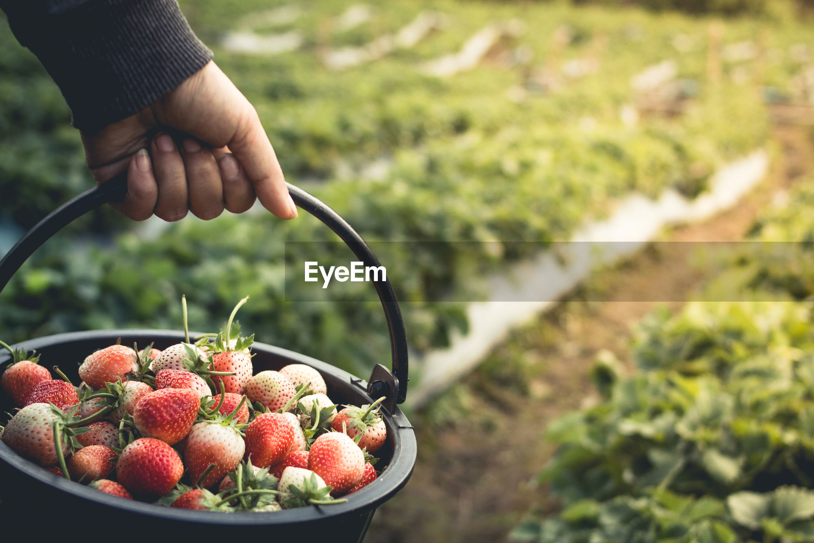 Midsection of woman holding strawberries in bucket at yard