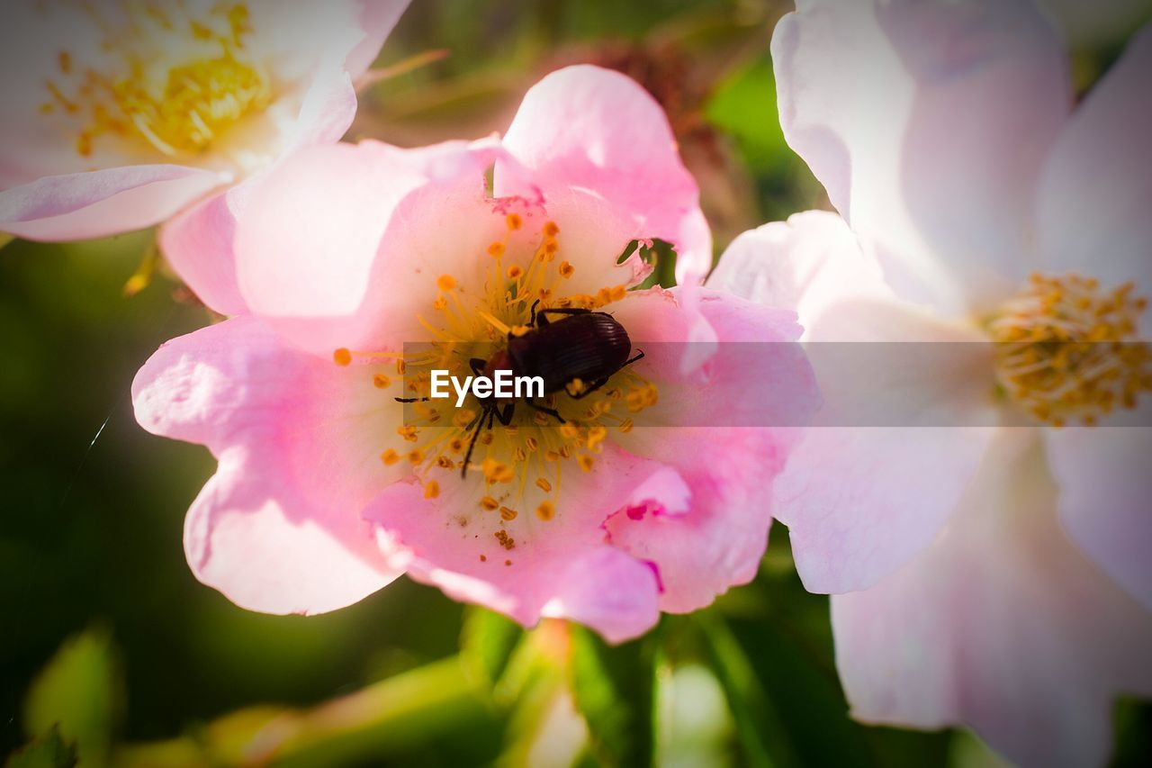 flower, insect, petal, one animal, animal themes, animals in the wild, fragility, growth, nature, bee, freshness, flower head, beauty in nature, animal wildlife, pink color, pollen, close-up, plant, no people, outdoors, pollination, day, wild rose, stamen, bumblebee, buzzing
