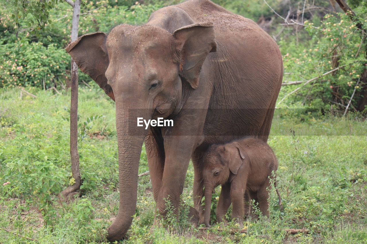 mammal, animal themes, animal, group of animals, elephant, two animals, young animal, animal wildlife, animals in the wild, plant, land, vertebrate, domestic animals, day, tree, animal family, nature, forest, field, no people, herbivorous, outdoors, animal trunk, care