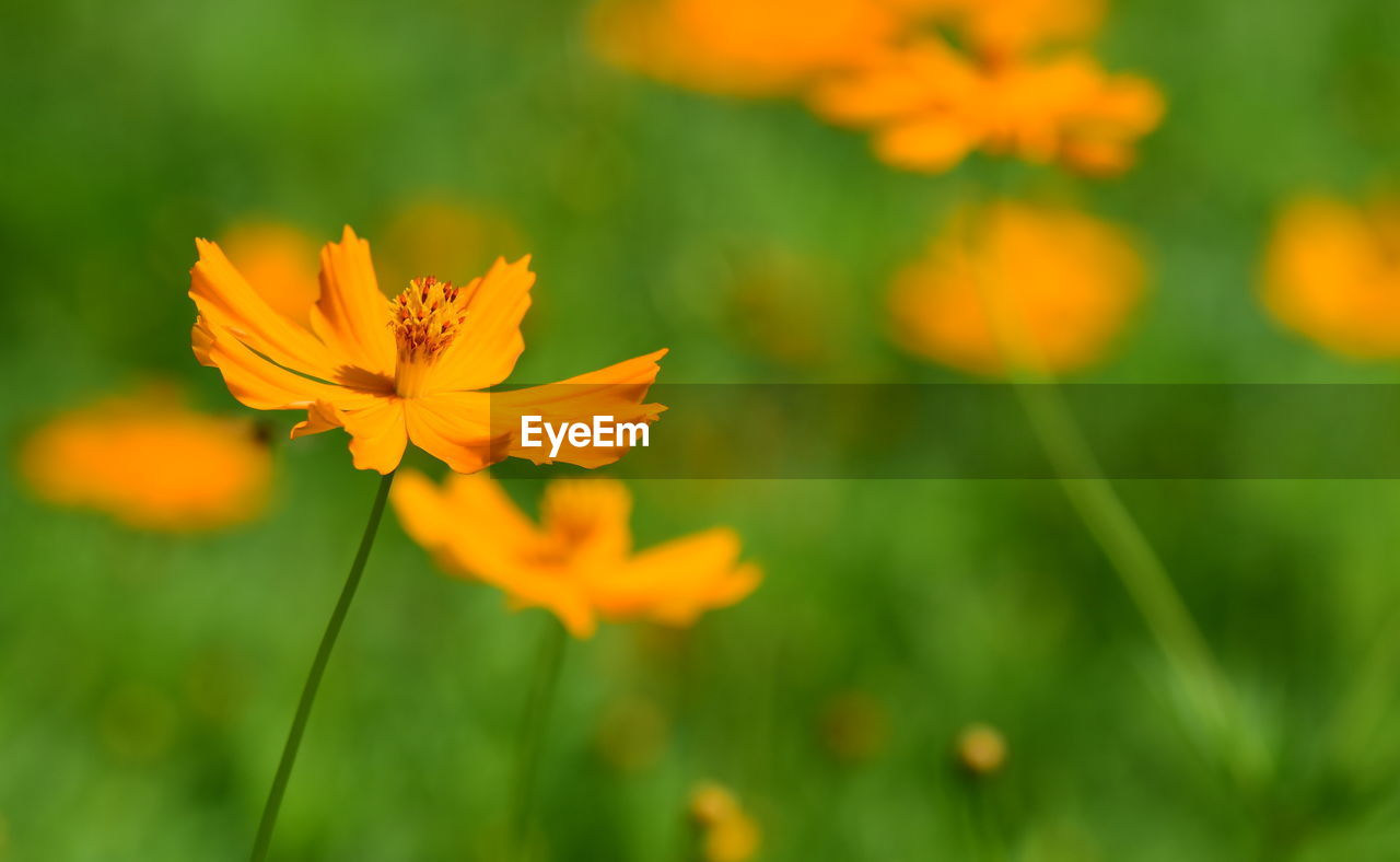 flowering plant, flower, fragility, beauty in nature, vulnerability, plant, freshness, growth, petal, inflorescence, orange color, flower head, close-up, focus on foreground, nature, yellow, day, no people, selective focus, field, outdoors, pollen