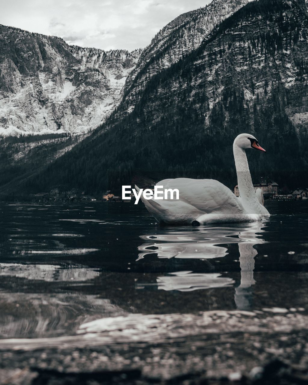 lake, water, bird, animal themes, animals in the wild, animal wildlife, animal, vertebrate, mountain, beauty in nature, one animal, nature, day, waterfront, reflection, swimming, no people, side view, scenics - nature