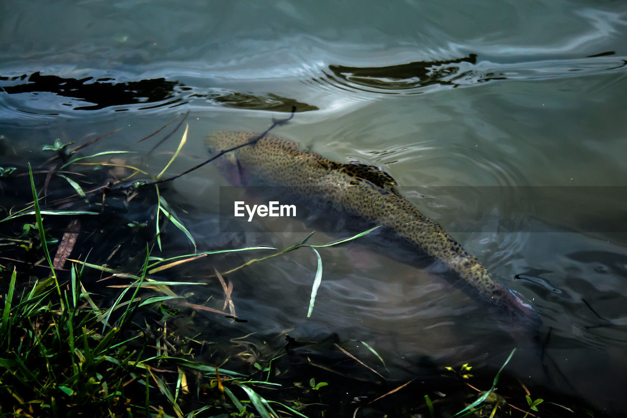 High angle view of rainbow trout swimming in lake