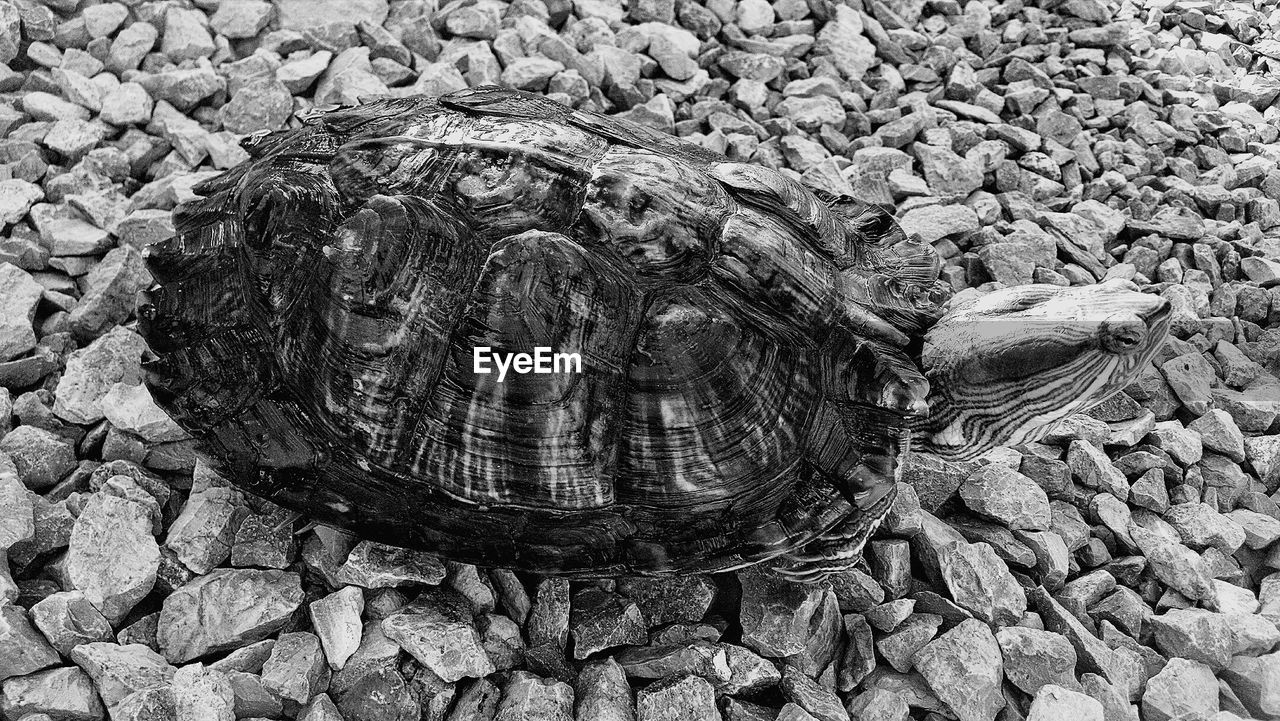 animal shell, tortoise, tortoise shell, turtle, animals in the wild, animal themes, reptile, one animal, day, high angle view, animal wildlife, no people, outdoors, nature, close-up