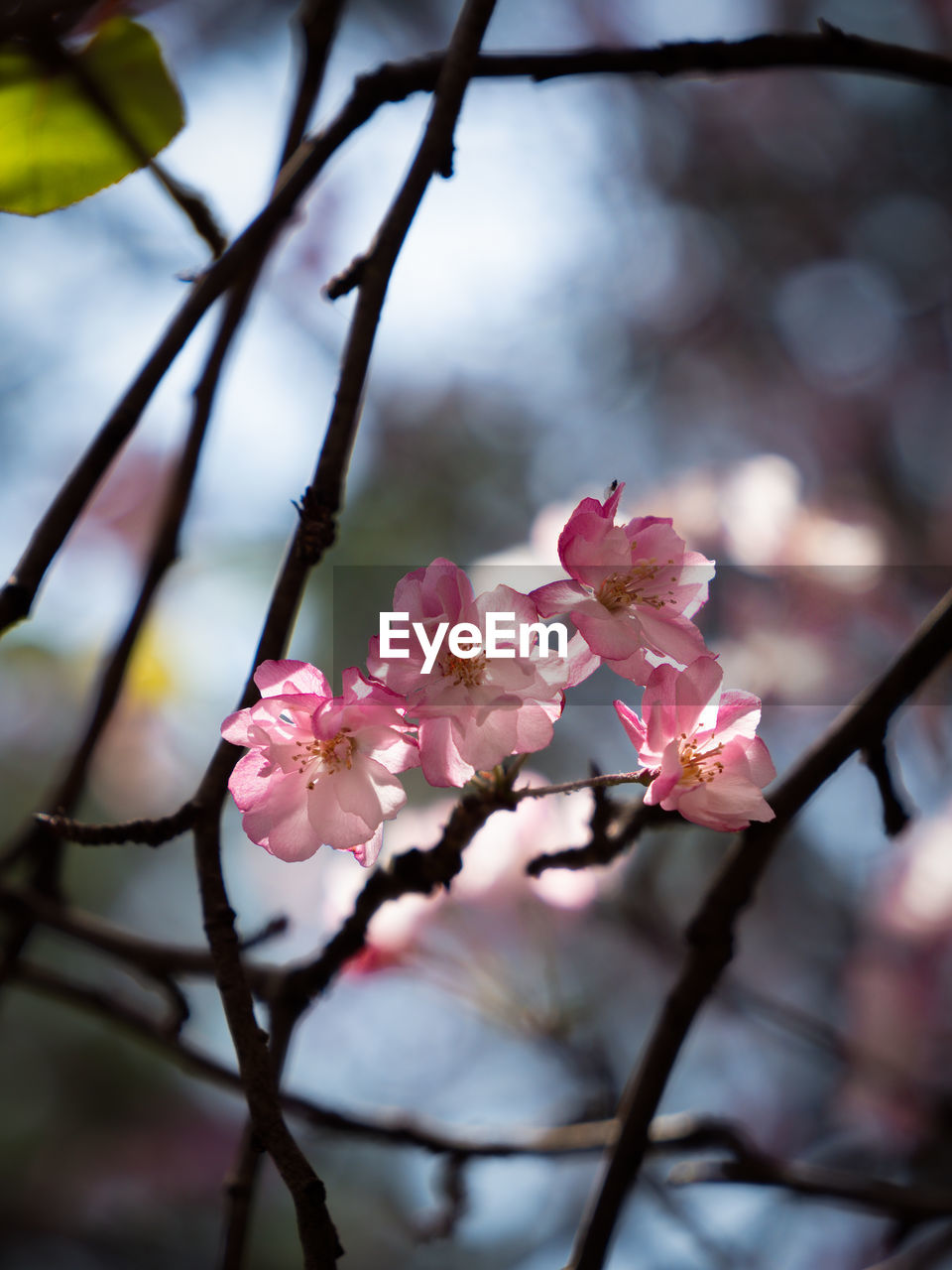 flowering plant, flower, plant, fragility, freshness, vulnerability, pink color, beauty in nature, growth, petal, close-up, nature, blossom, tree, branch, inflorescence, springtime, day, flower head, selective focus, no people, outdoors, cherry blossom, cherry tree, spring