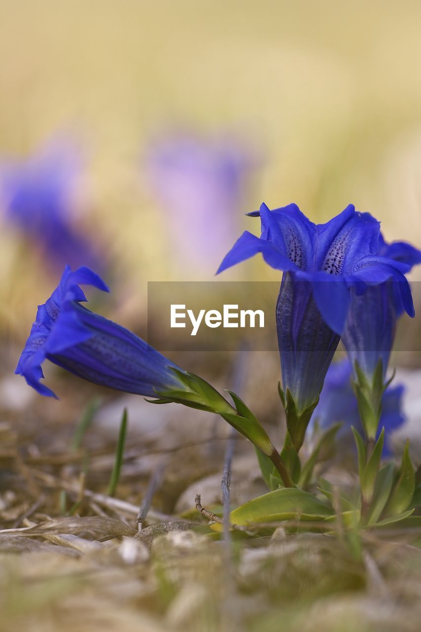 flowering plant, flower, plant, vulnerability, fragility, petal, beauty in nature, purple, close-up, freshness, growth, blue, selective focus, nature, inflorescence, flower head, no people, day, field, land, iris, crocus, iris - plant