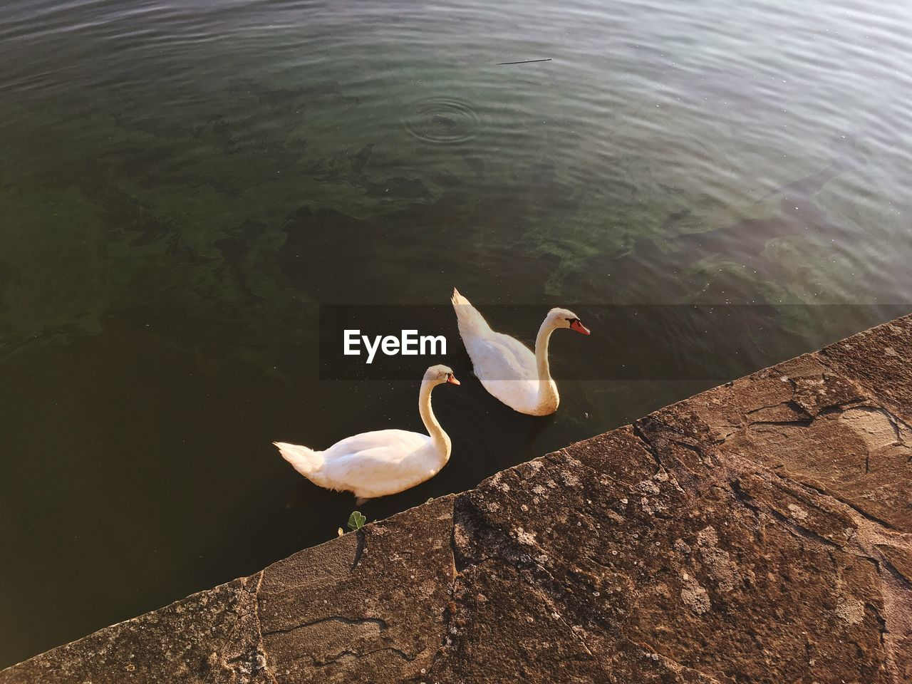 bird, animals in the wild, water, animal themes, lake, animal wildlife, nature, high angle view, day, rock - object, no people, outdoors, beauty in nature, swan, close-up