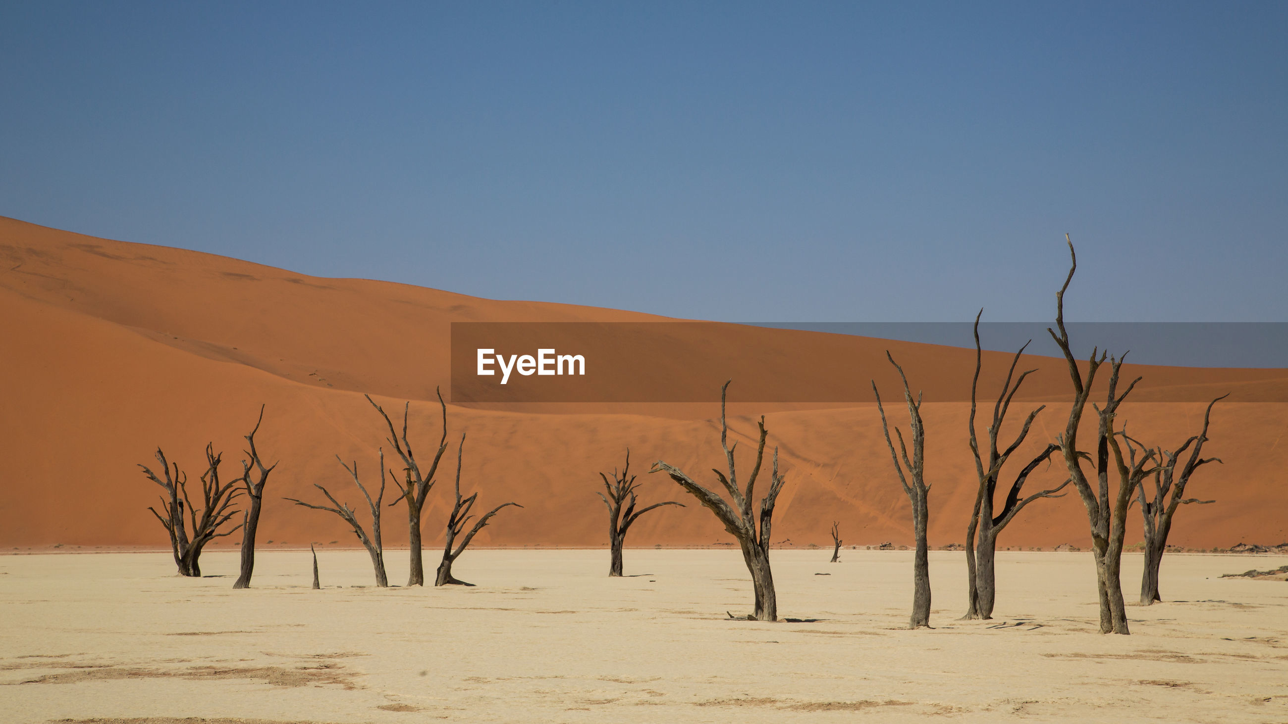 BARE TREES ON SAND DUNE AGAINST CLEAR SKY