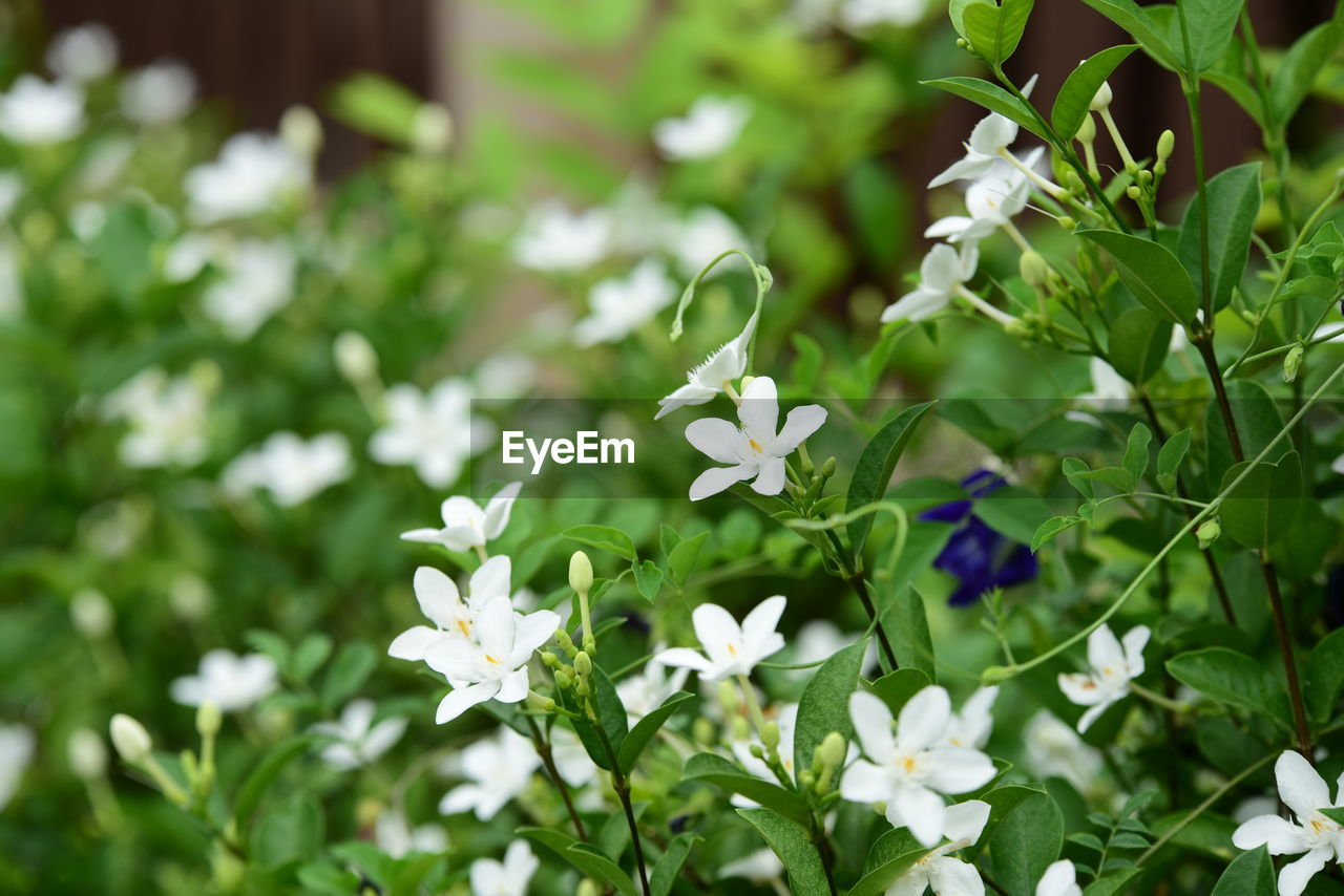 plant, flowering plant, flower, freshness, growth, beauty in nature, vulnerability, fragility, petal, flower head, white color, day, inflorescence, green color, close-up, nature, no people, selective focus, plant part, leaf, outdoors, purple, small