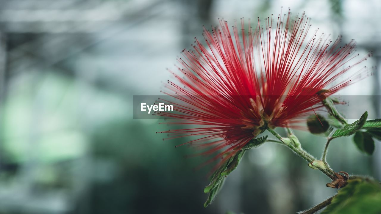 plant, beauty in nature, flower, flowering plant, growth, vulnerability, freshness, fragility, focus on foreground, close-up, flower head, no people, nature, day, inflorescence, petal, red, selective focus, outdoors, sepal
