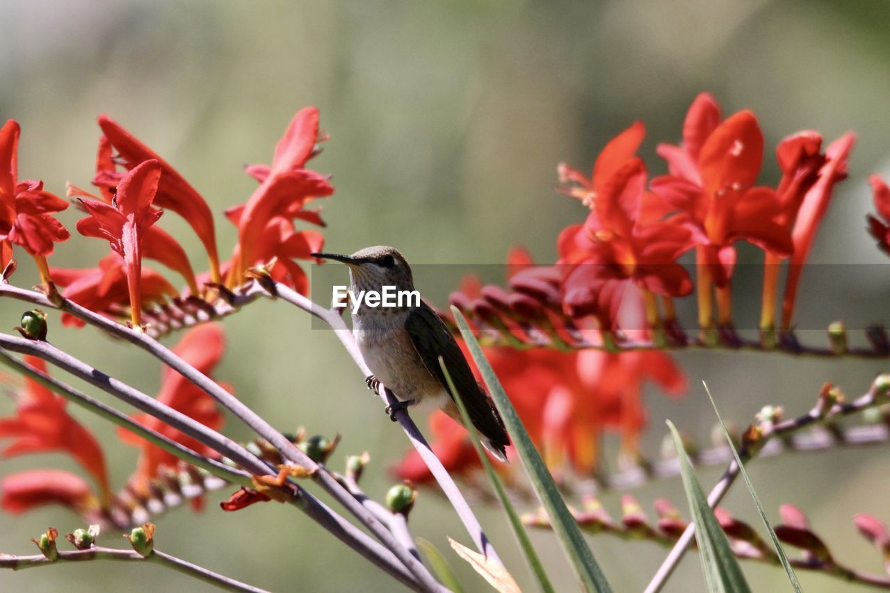 CLOSE-UP OF HUMMINGBIRD PERCHING ON RED FLOWER