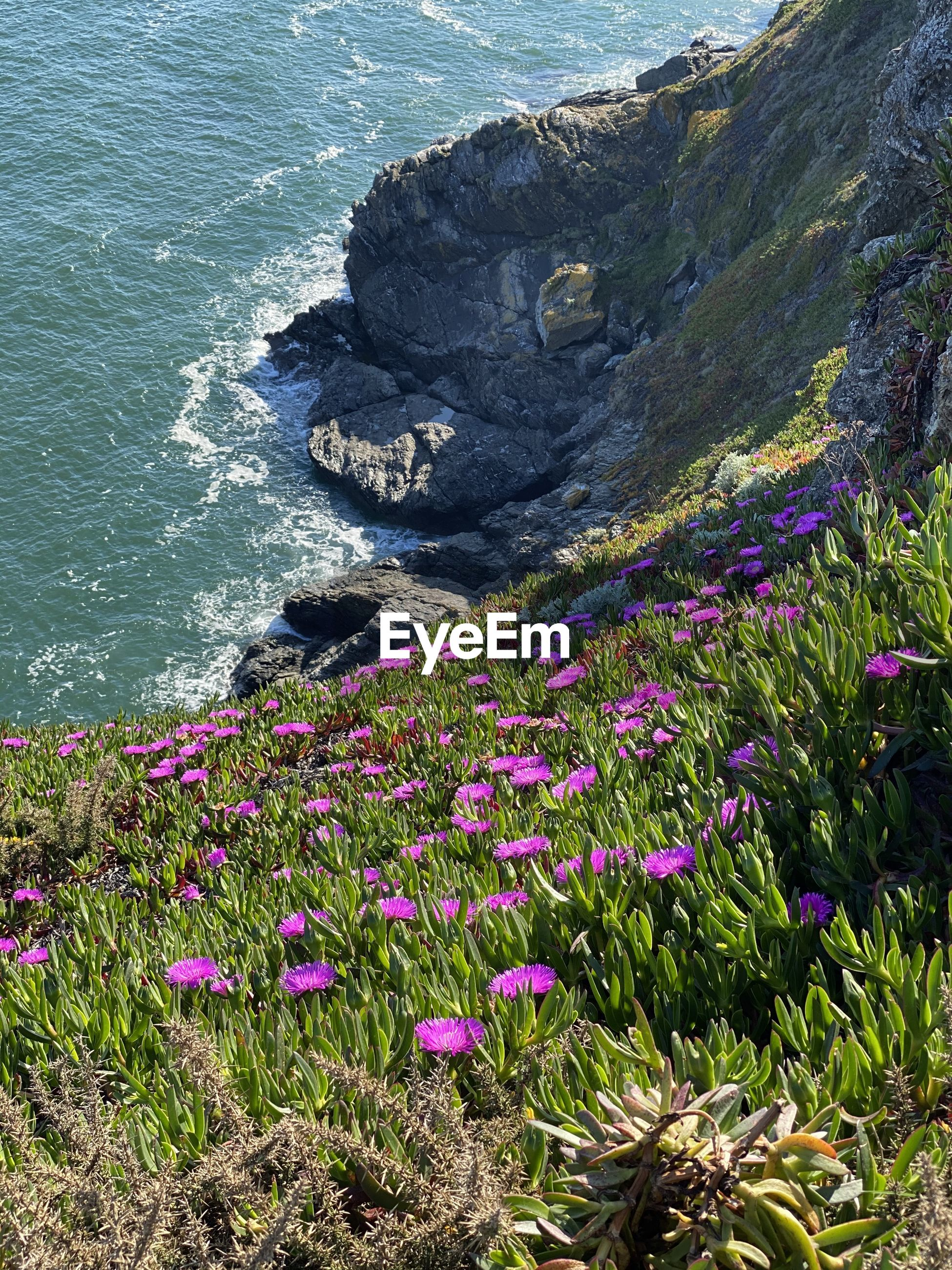 HIGH ANGLE VIEW OF PURPLE FLOWERING PLANTS ON ROCKS AT SEA