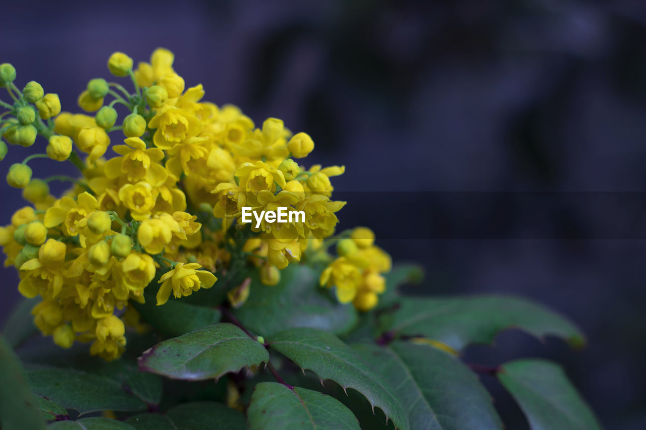 plant, flower, beauty in nature, flowering plant, growth, freshness, leaf, vulnerability, plant part, fragility, close-up, nature, green color, no people, day, selective focus, inflorescence, yellow, flower head, petal, outdoors, lantana, bunch of flowers