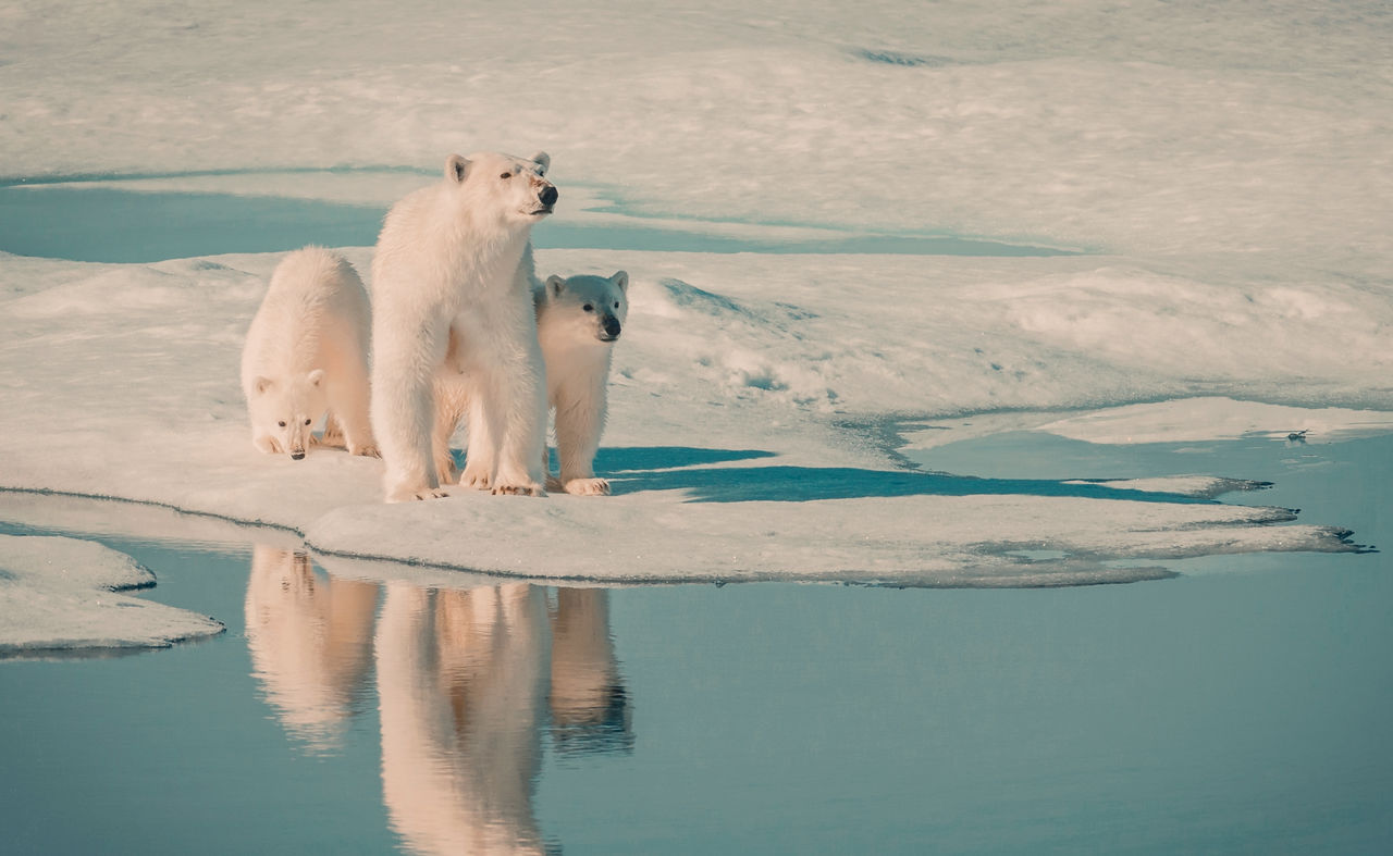 animal themes, animal, mammal, water, reflection, lake, one animal, cold temperature, polar bear, bear, vertebrate, winter, animal wildlife, animals in the wild, snow, nature, day, no people, ice