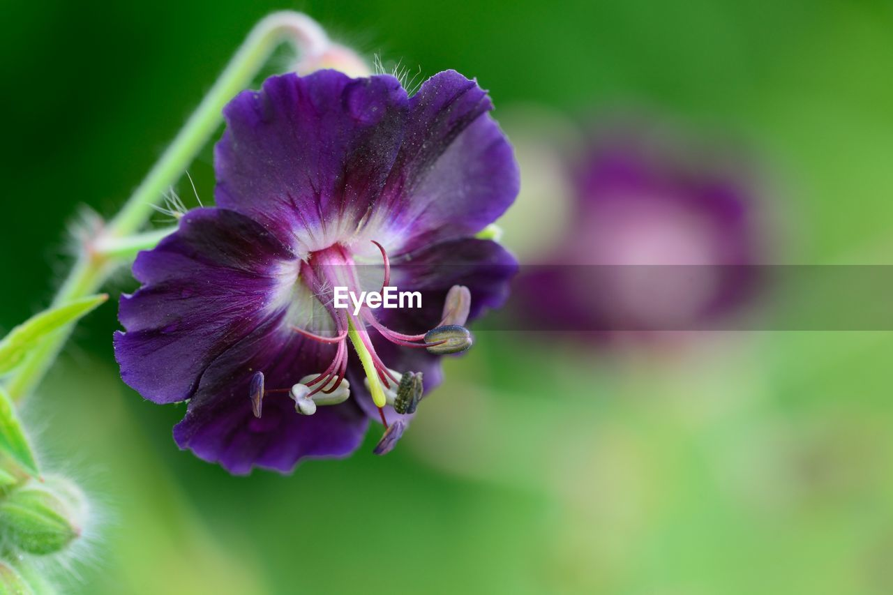 flower, beauty in nature, purple, fragility, nature, petal, freshness, flower head, growth, focus on foreground, no people, plant, close-up, day, outdoors, blooming, petunia