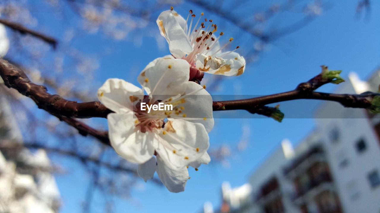 flower, fragility, blossom, cherry blossom, springtime, white color, beauty in nature, tree, apple blossom, branch, apple tree, freshness, petal, almond tree, orchard, cherry tree, growth, nature, botany, pollen, flower head, stamen, twig, low angle view, day, plum blossom, selective focus, no people, close-up, outdoors, blooming, sky