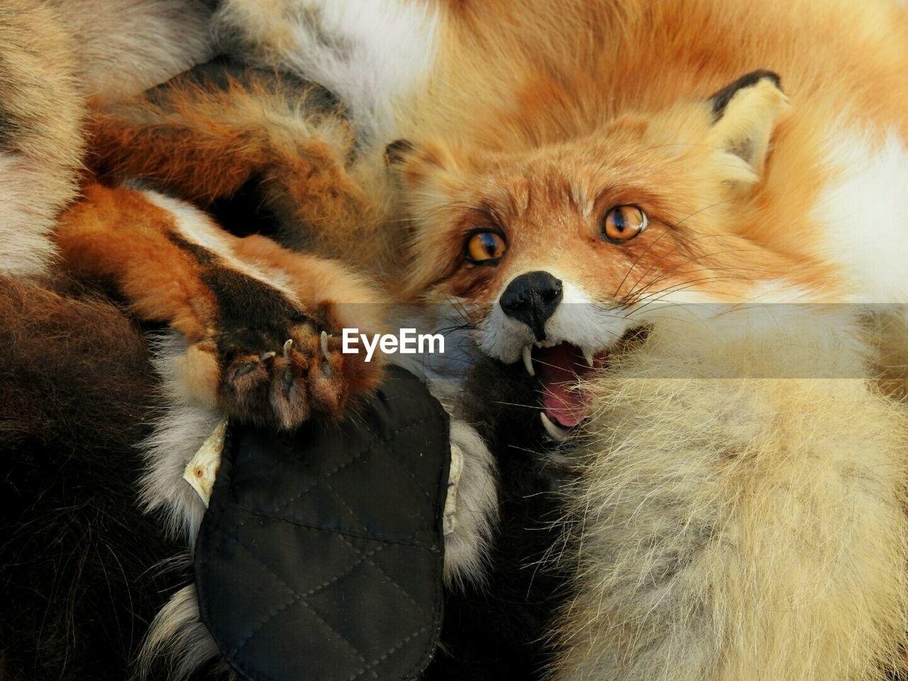 Fox taxidermy at home