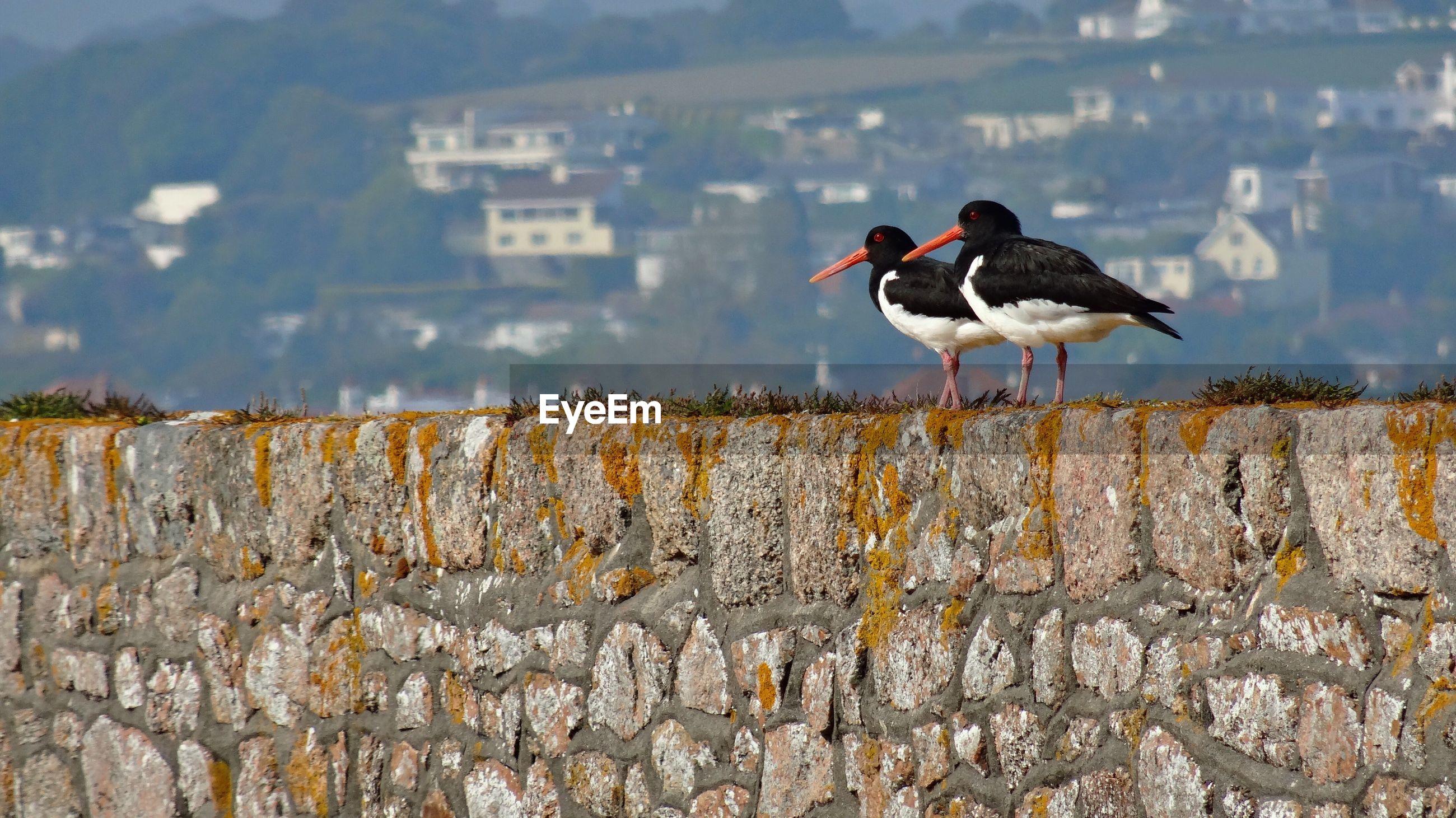 Oystercatchers on stone wall