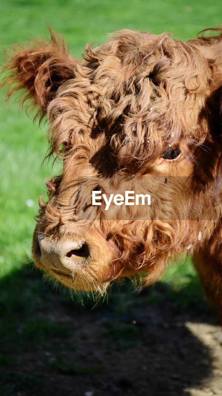 mammal, animal themes, animal, domestic animals, one animal, domestic, pets, vertebrate, livestock, animal body part, close-up, animal head, animal hair, no people, brown, land, day, domestic cattle, focus on foreground, cattle, highland cattle, herbivorous