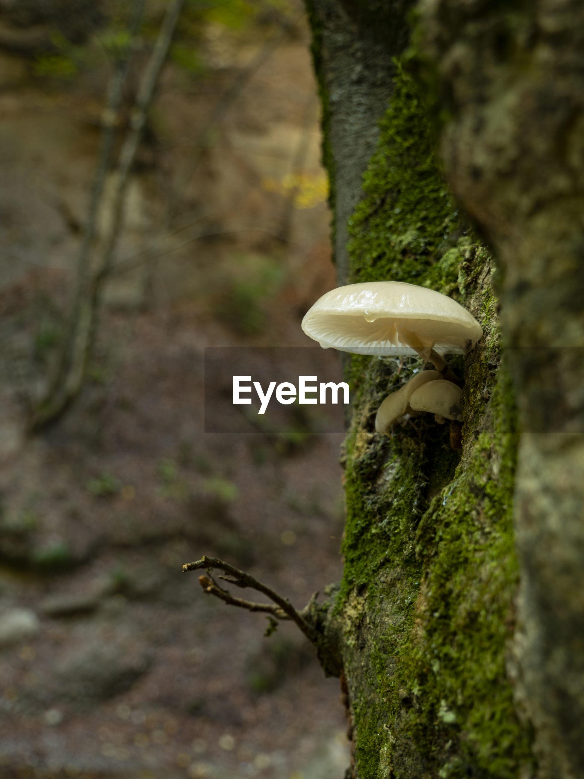 CLOSE-UP OF MUSHROOMS GROWING ON TREE