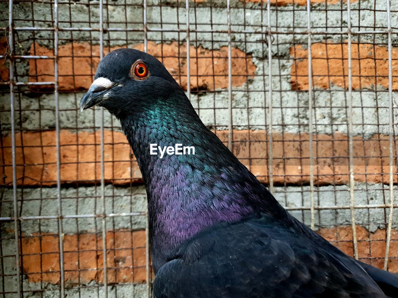 animal themes, animal, bird, one animal, vertebrate, animal wildlife, animals in the wild, close-up, no people, day, focus on foreground, pigeon, brick, wall, animals in captivity, wall - building feature, side view, brick wall, cage, looking, animal head, profile view