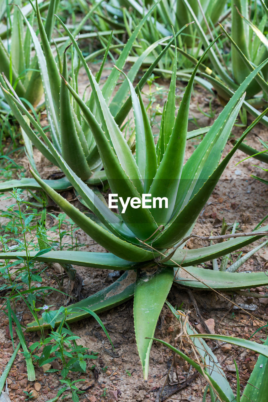 growth, green color, plant, field, land, day, nature, high angle view, beauty in nature, no people, close-up, plant part, leaf, succulent plant, aloe vera plant, focus on foreground, aloe, grass, freshness, outdoors, spiky