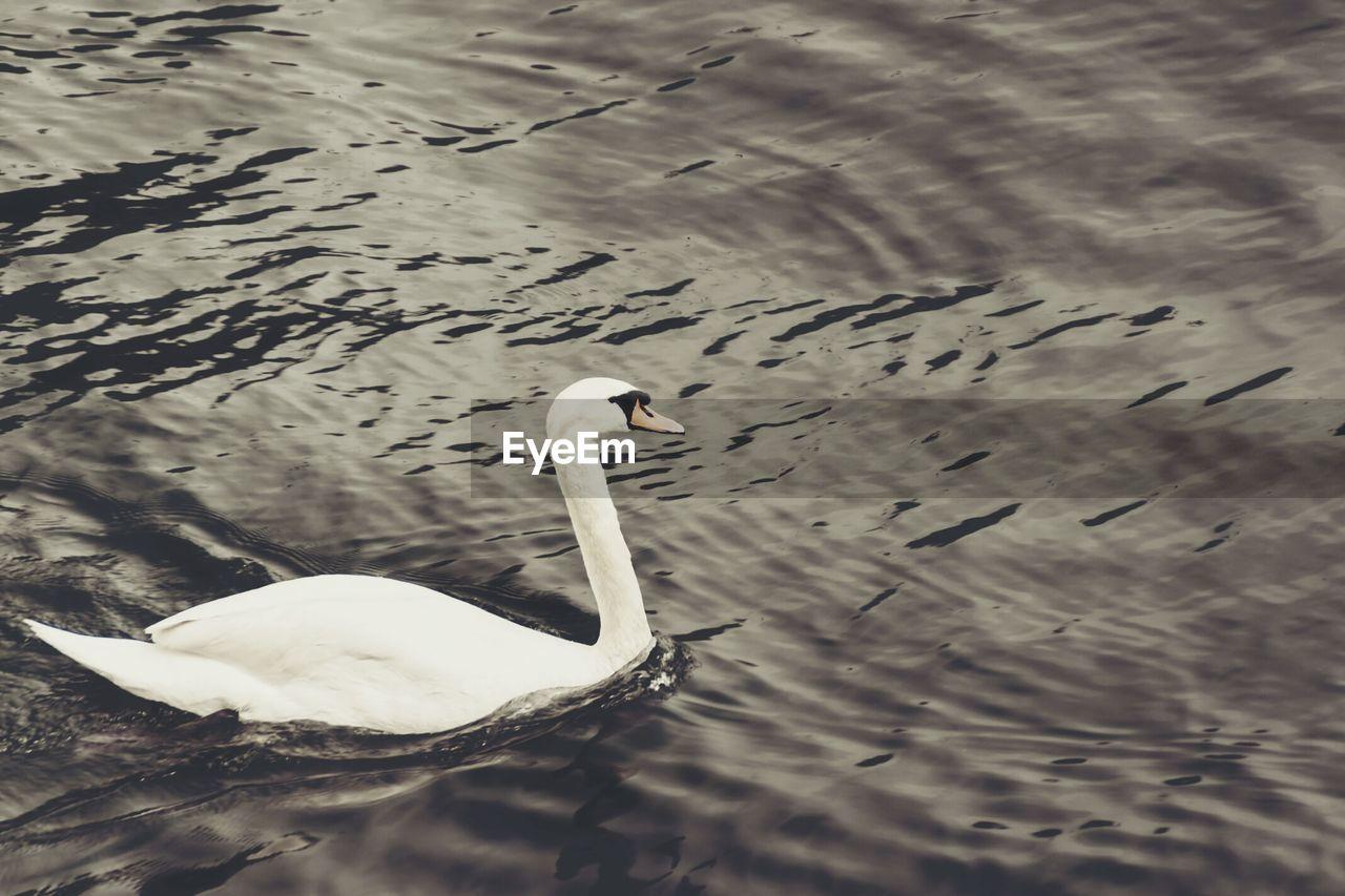 animal themes, animals in the wild, one animal, lake, bird, animal wildlife, swimming, water bird, water, waterfront, swan, no people, day, nature, outdoors, beak, close-up