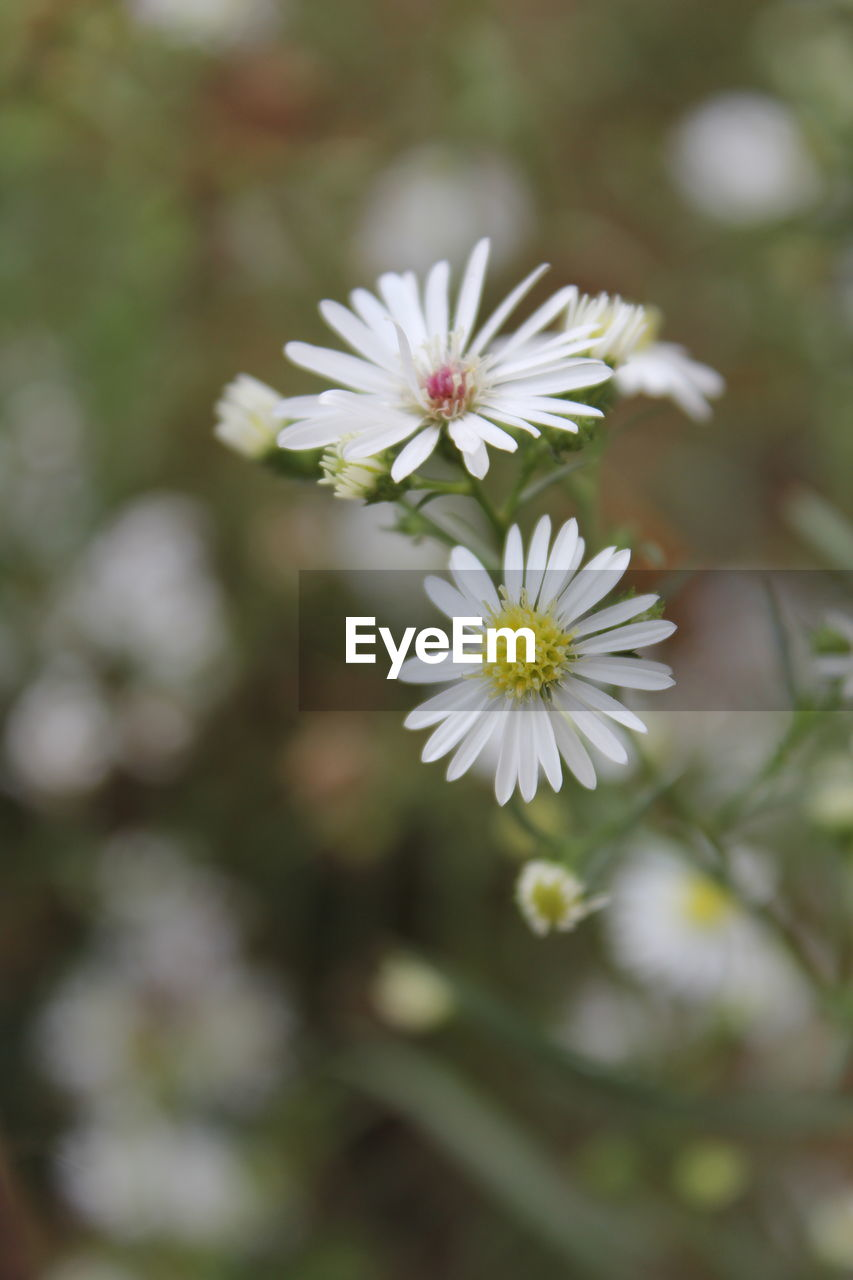 flowering plant, flower, freshness, vulnerability, fragility, plant, beauty in nature, petal, growth, flower head, close-up, inflorescence, white color, nature, day, focus on foreground, no people, daisy, outdoors, selective focus, pollen