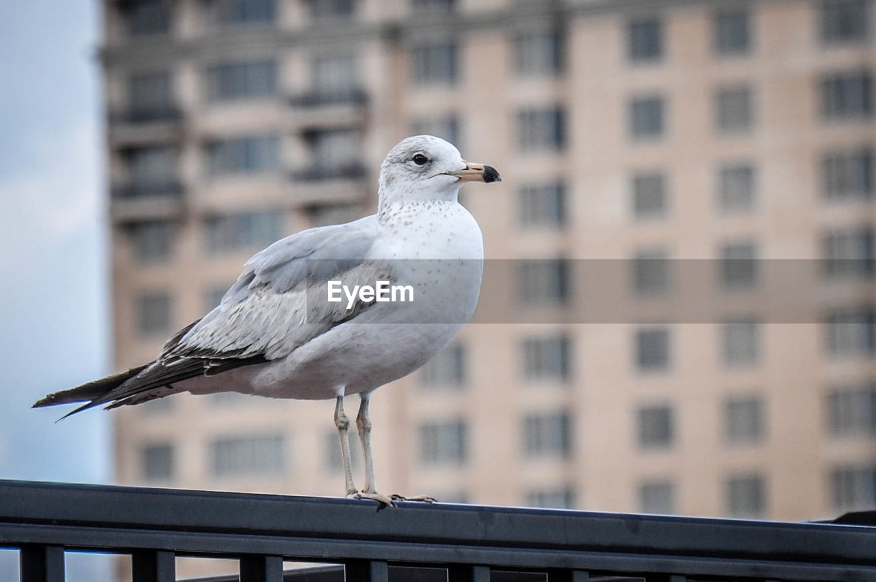 Seagull perching on railing against building