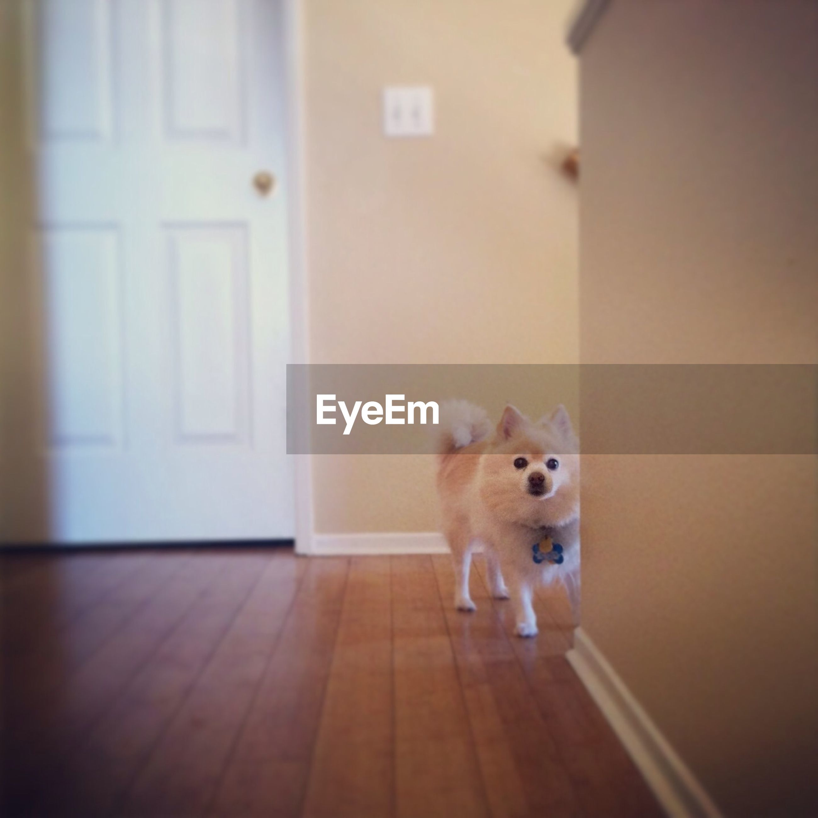 pets, dog, domestic animals, one animal, indoors, animal themes, mammal, home interior, portrait, flooring, full length, looking at camera, sitting, no people, door, hardwood floor, architecture, front view, standing, built structure
