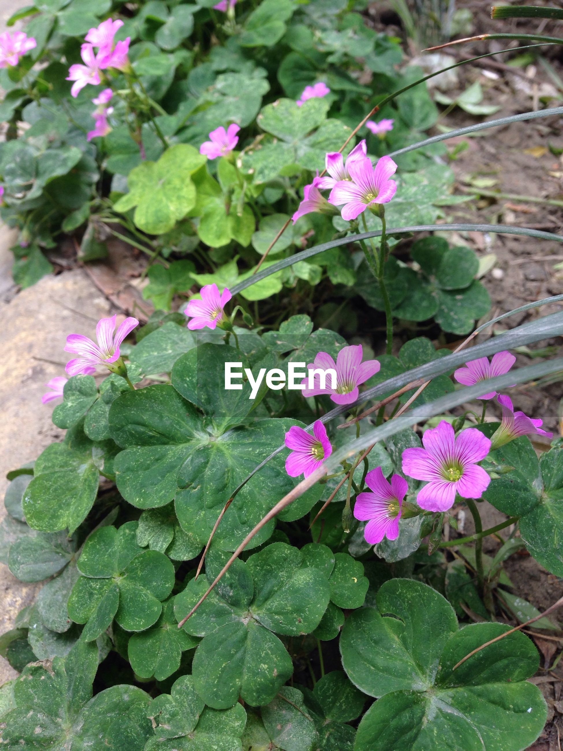 flower, leaf, freshness, growth, fragility, plant, petal, beauty in nature, purple, pink color, nature, green color, blooming, close-up, high angle view, flower head, outdoors, in bloom, day, no people