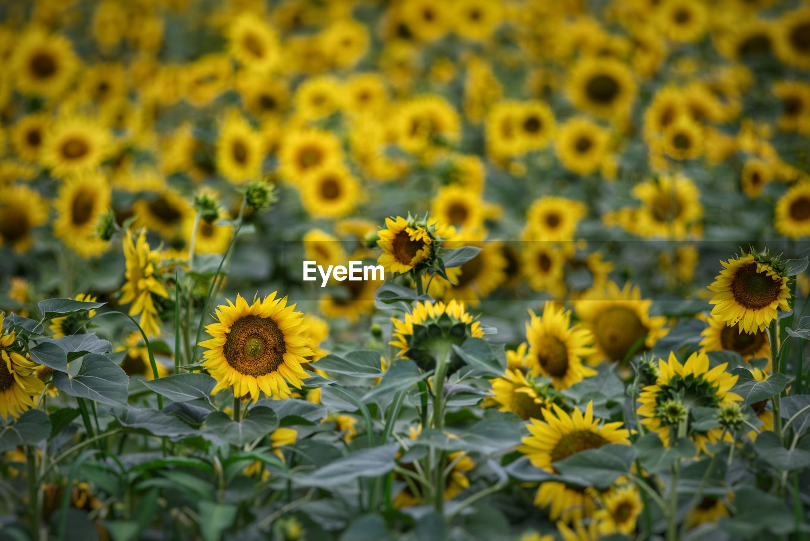CLOSE-UP OF SUNFLOWERS ON WHITE FLOWERING PLANT