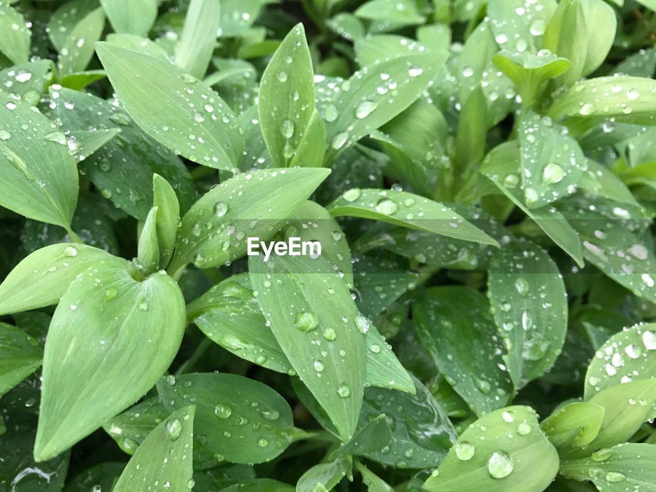 drop, water, green color, wet, leaf, raindrop, growth, freshness, nature, plant, droplet, backgrounds, water drop, weather, no people, purity, beauty in nature, full frame, close-up, day, outdoors