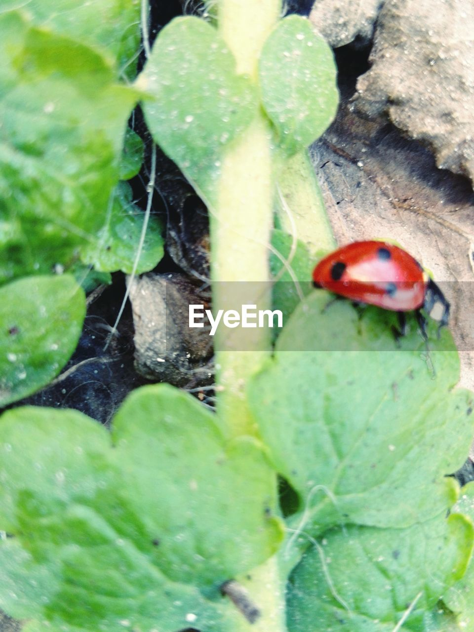 animal themes, animals in the wild, insect, leaf, wildlife, one animal, ladybug, close-up, nature, green color, no people, red, day, plant, outdoors, tiny, animal wildlife, fragility, beauty in nature