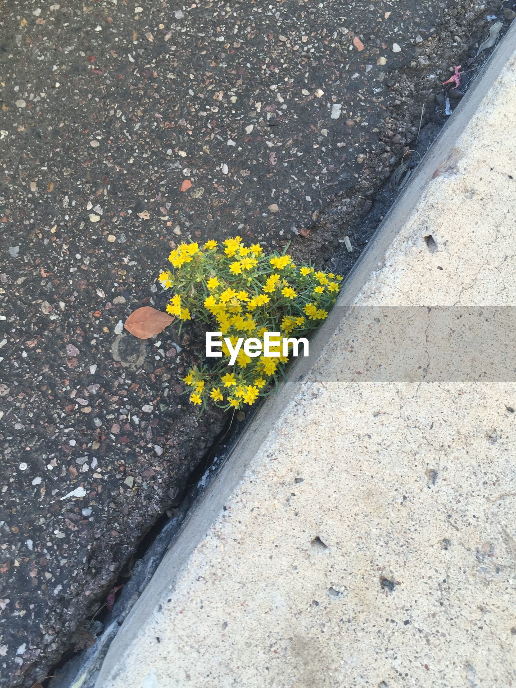 High angle view of yellow flowers on roadside