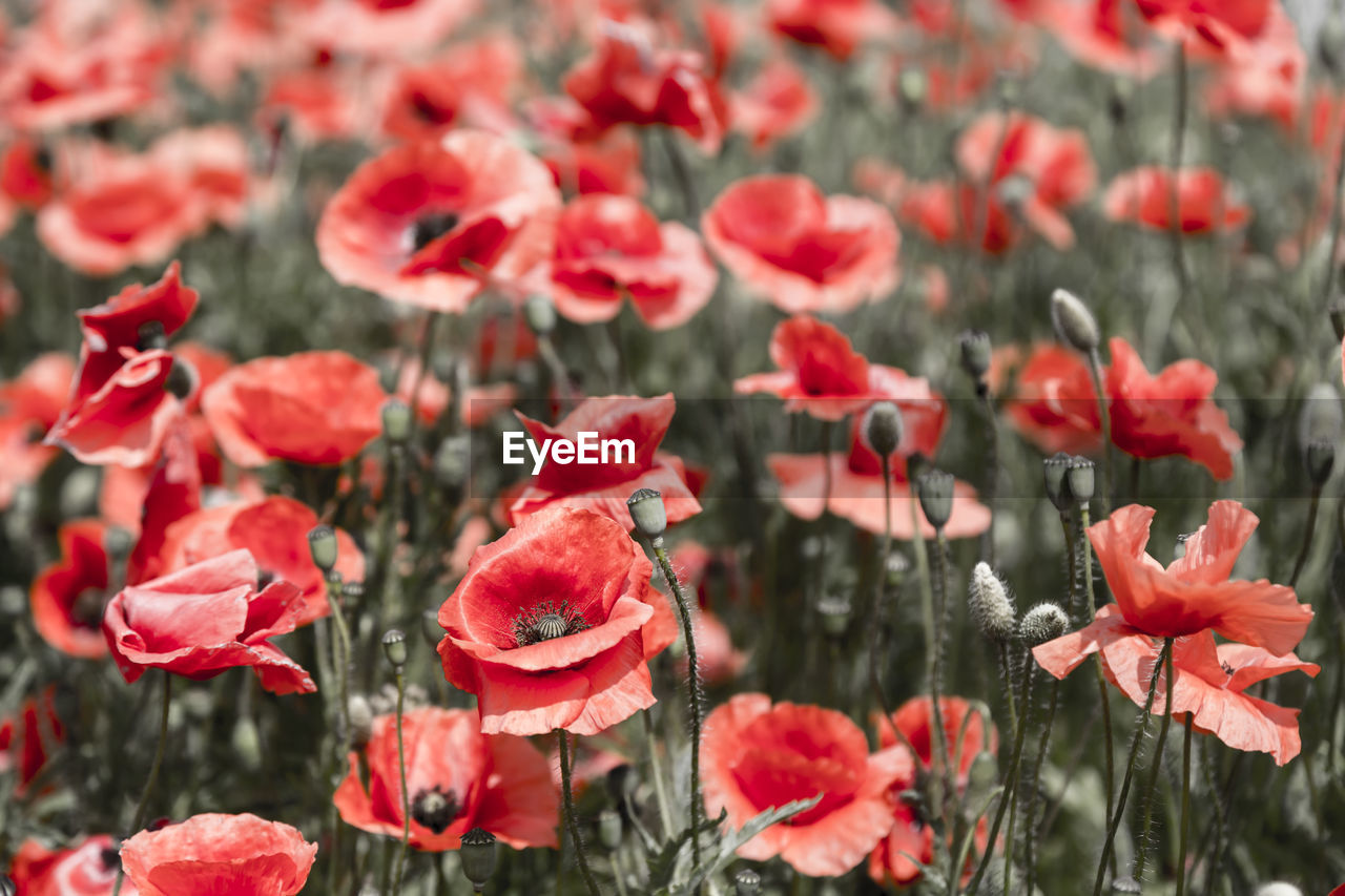 Red Poppy Flowers Blooming Outdoors