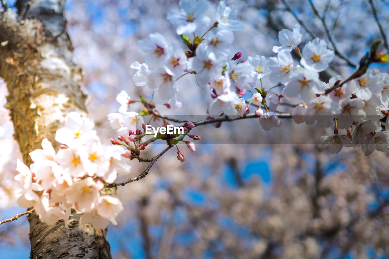 flower, flowering plant, plant, fragility, vulnerability, tree, freshness, growth, beauty in nature, blossom, branch, springtime, nature, cherry blossom, close-up, day, focus on foreground, petal, no people, white color, cherry tree, flower head, outdoors, bunch of flowers, spring