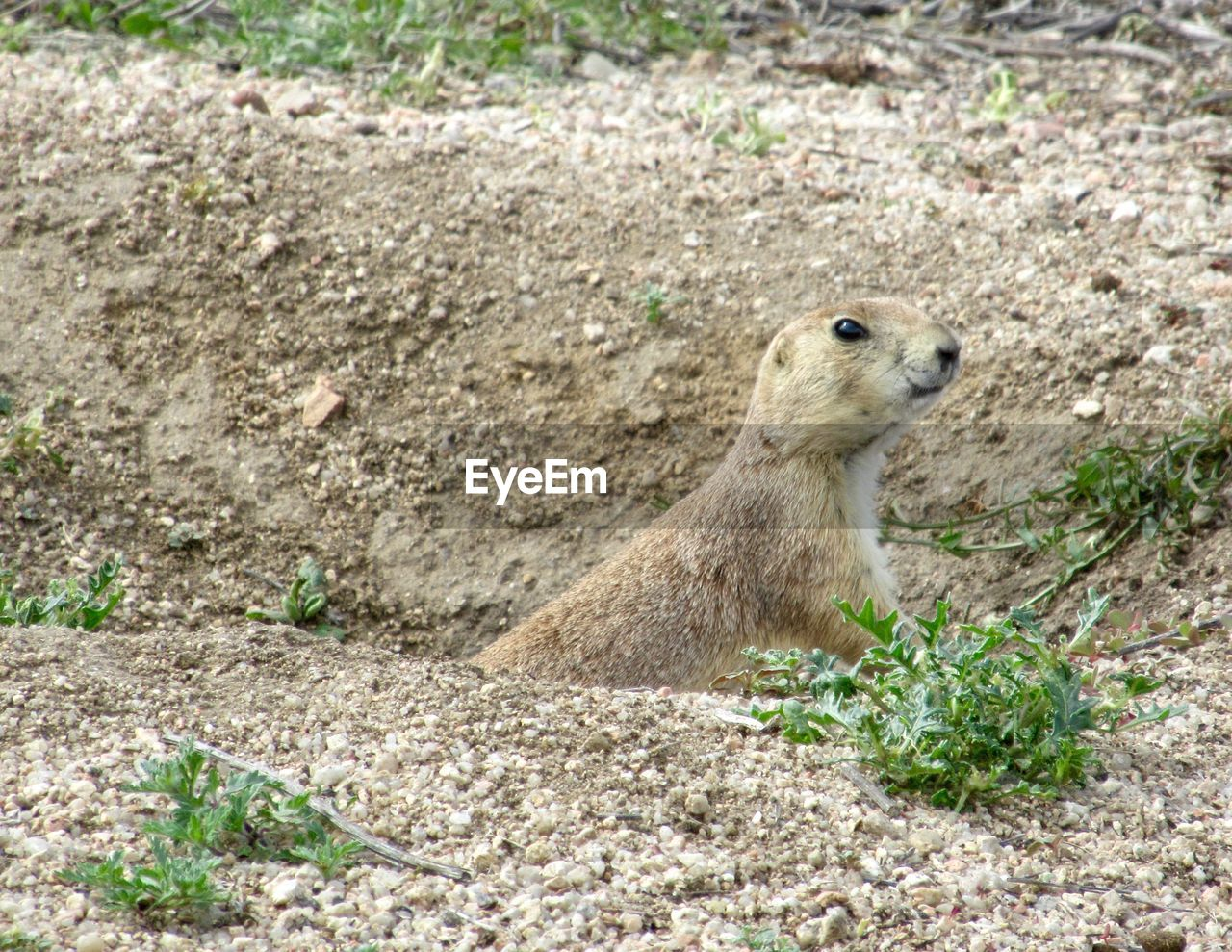 animal, animal themes, animal wildlife, one animal, animals in the wild, mammal, land, no people, rodent, nature, vertebrate, field, day, plant, high angle view, full length, close-up, outdoors, looking, alertness, herbivorous