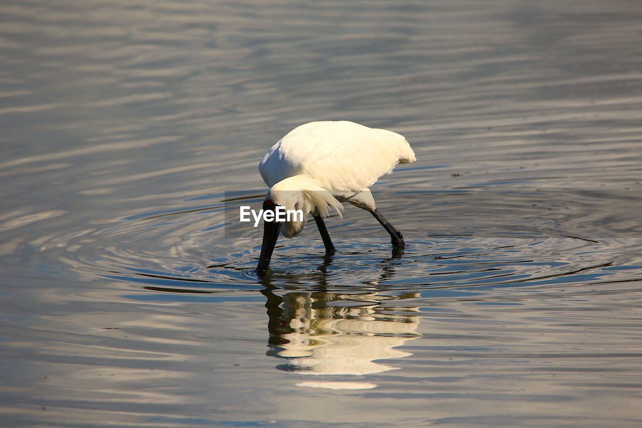 animal themes, water, bird, animal, animal wildlife, one animal, lake, animals in the wild, vertebrate, waterfront, no people, day, nature, white color, reflection, rippled, outdoors, egret, beauty in nature