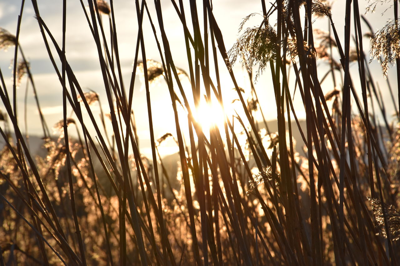 plant, sky, beauty in nature, tranquility, growth, sunset, grass, nature, no people, sunlight, close-up, focus on foreground, scenics - nature, tranquil scene, sun, land, outdoors, day, water, non-urban scene, stalk, timothy grass, blade of grass