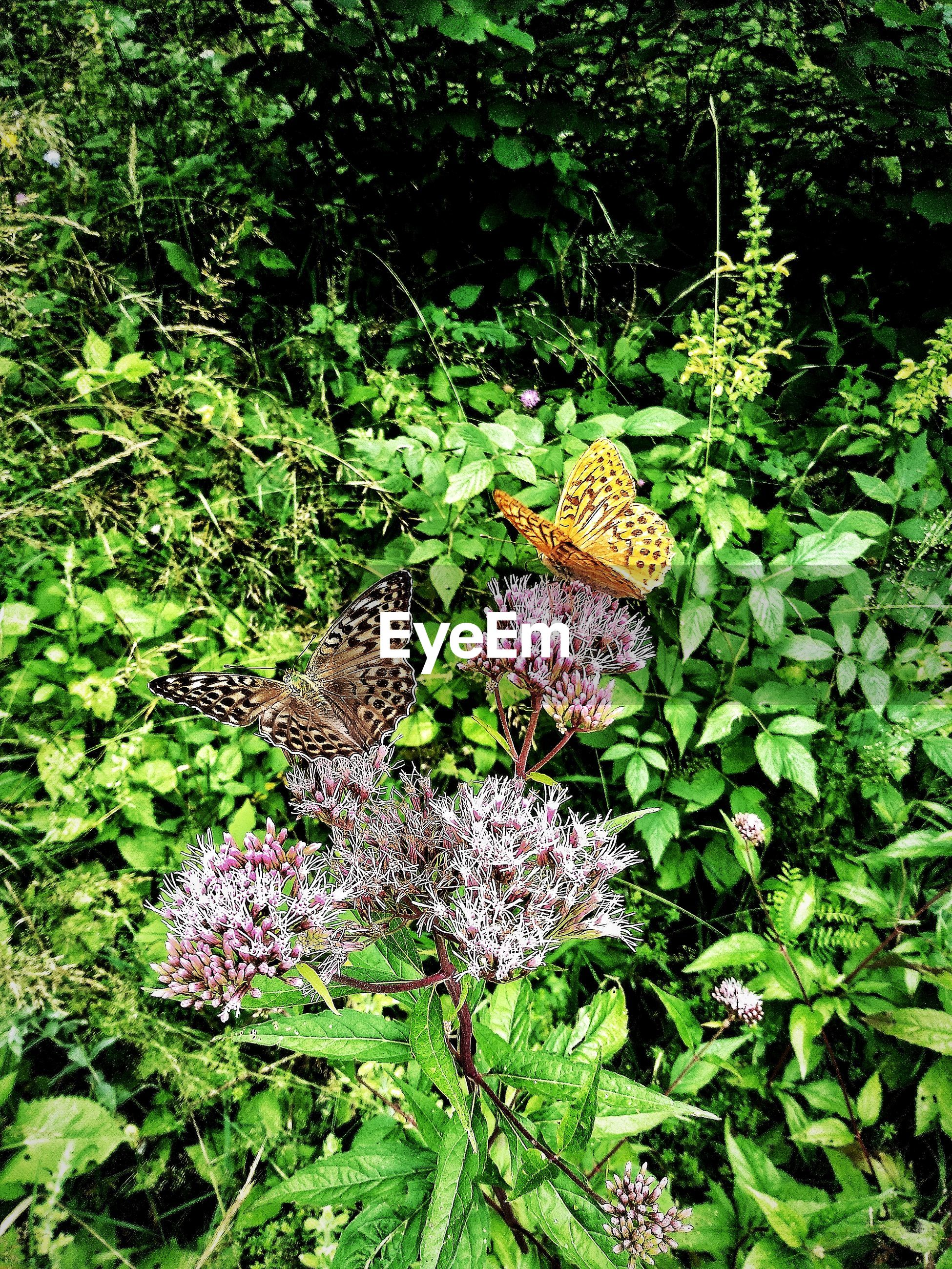 HIGH ANGLE VIEW OF BUTTERFLY ON PURPLE FLOWERS