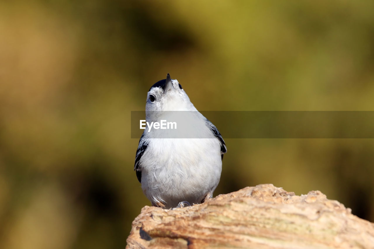animal themes, animal, bird, animal wildlife, vertebrate, one animal, animals in the wild, perching, focus on foreground, close-up, day, no people, nature, outdoors, looking away, looking, selective focus, sparrow, solid, full length