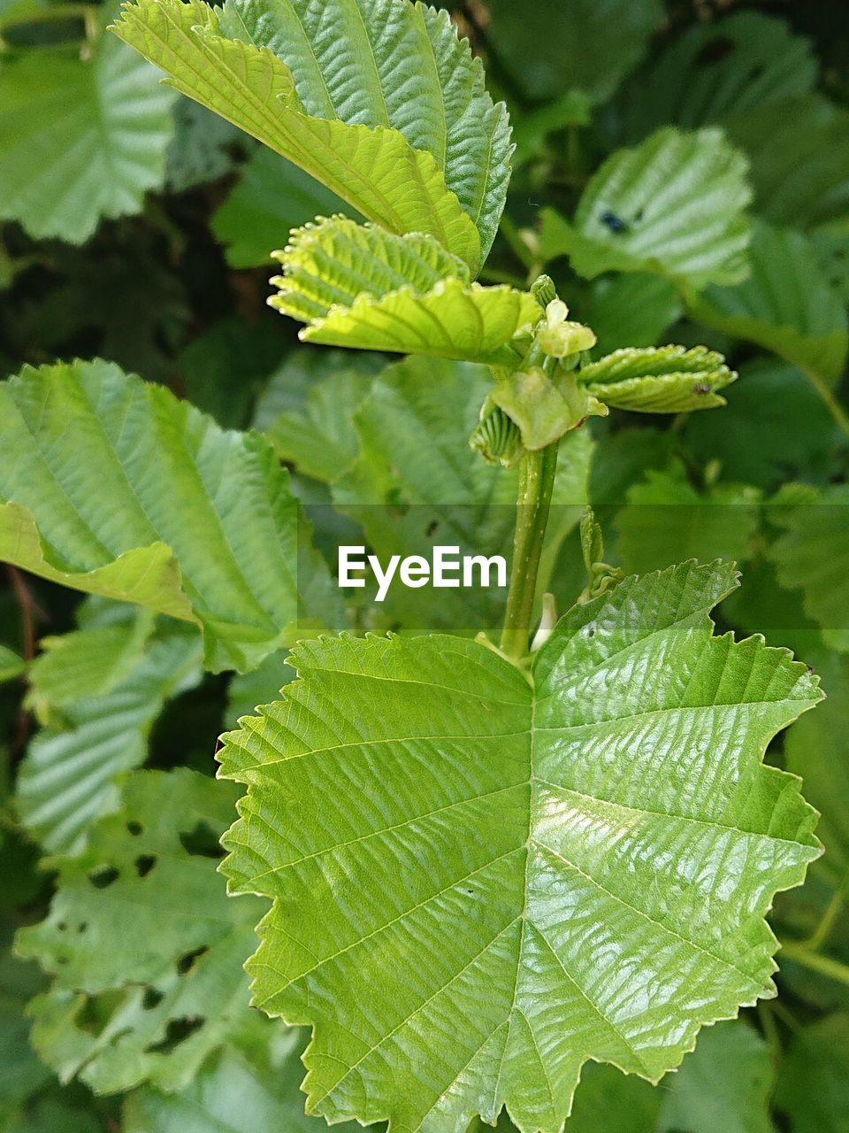 leaf, plant part, green color, growth, plant, close-up, beauty in nature, nature, focus on foreground, day, freshness, no people, leaf vein, outdoors, food and drink, leaves, food, sunlight, tranquility, high angle view