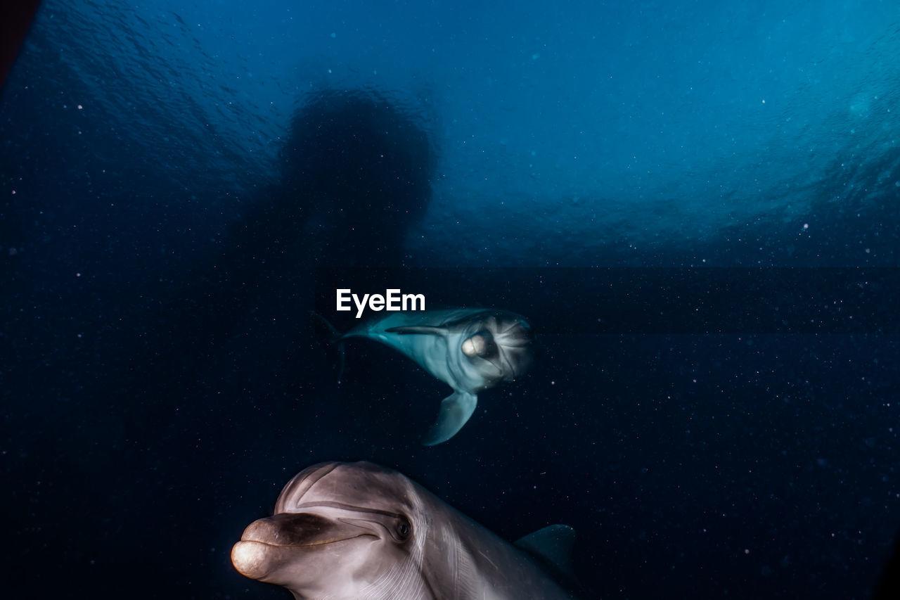 Dolphin Swimming Undersea