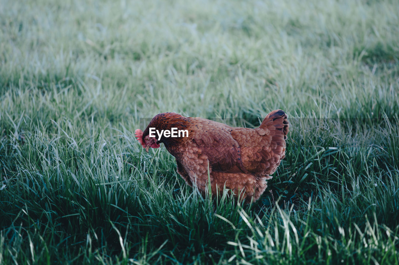 Side view of rooster on grassy field