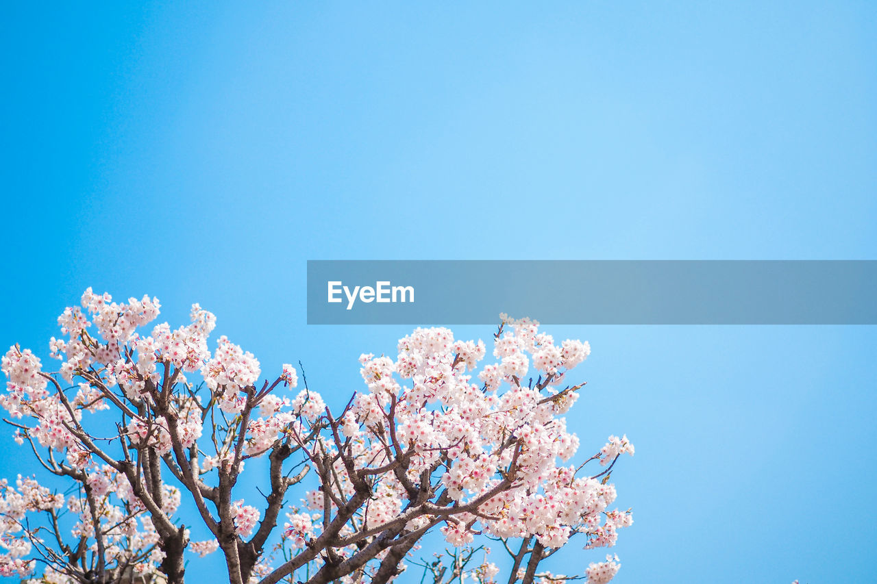 flower, low angle view, flowering plant, beauty in nature, tree, sky, plant, fragility, growth, blossom, blue, nature, springtime, branch, day, copy space, vulnerability, freshness, clear sky, pink color, cherry blossom, no people, cherry tree, outdoors, spring