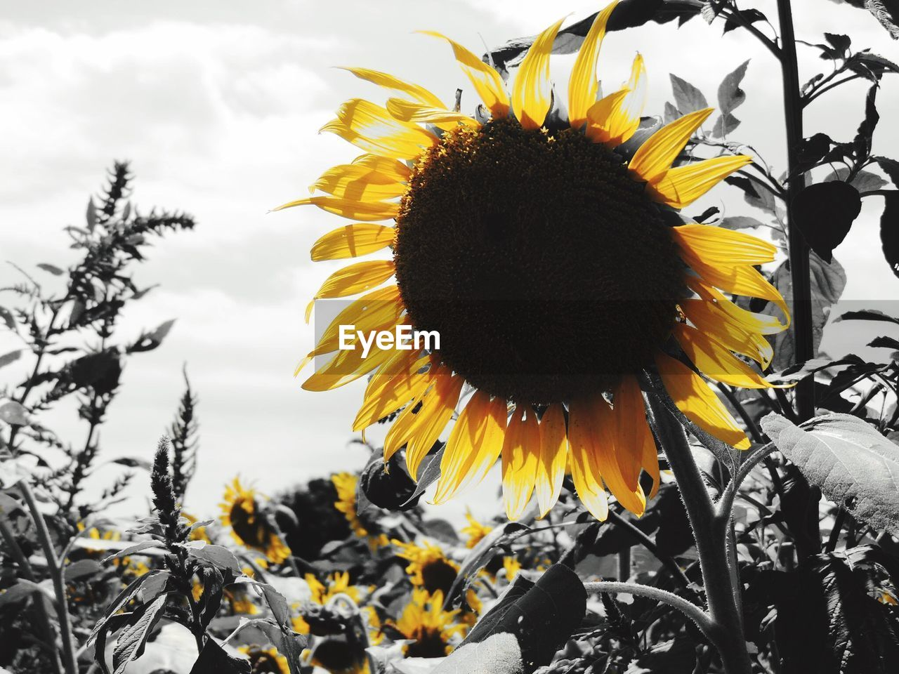 flower, yellow, fragility, petal, nature, beauty in nature, flower head, freshness, sunflower, growth, pollen, plant, close-up, blooming, outdoors, day, no people, black-eyed susan, sky