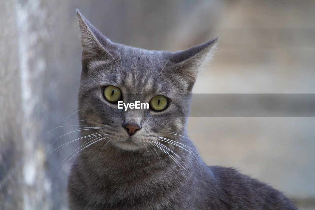 animal themes, animal, domestic cat, one animal, cat, mammal, pets, domestic, feline, domestic animals, vertebrate, portrait, focus on foreground, whisker, close-up, looking at camera, no people, animal body part, day, gray, yellow eyes, animal head, animal eye, tabby