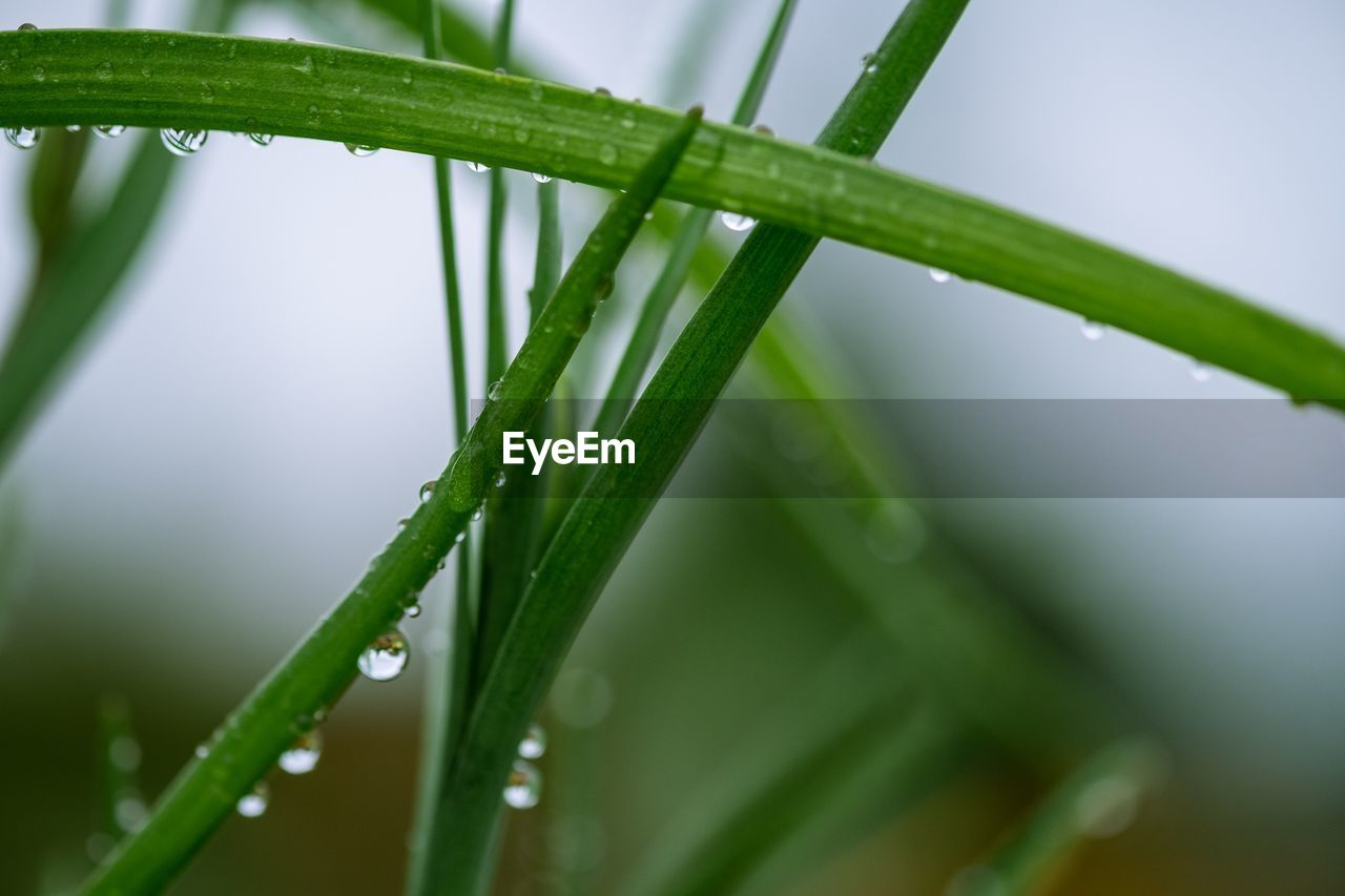 green color, drop, wet, plant, water, close-up, growth, nature, selective focus, rain, beauty in nature, freshness, blade of grass, plant part, leaf, focus on foreground, no people, raindrop, rainy season, outdoors, dew, purity, bamboo - plant