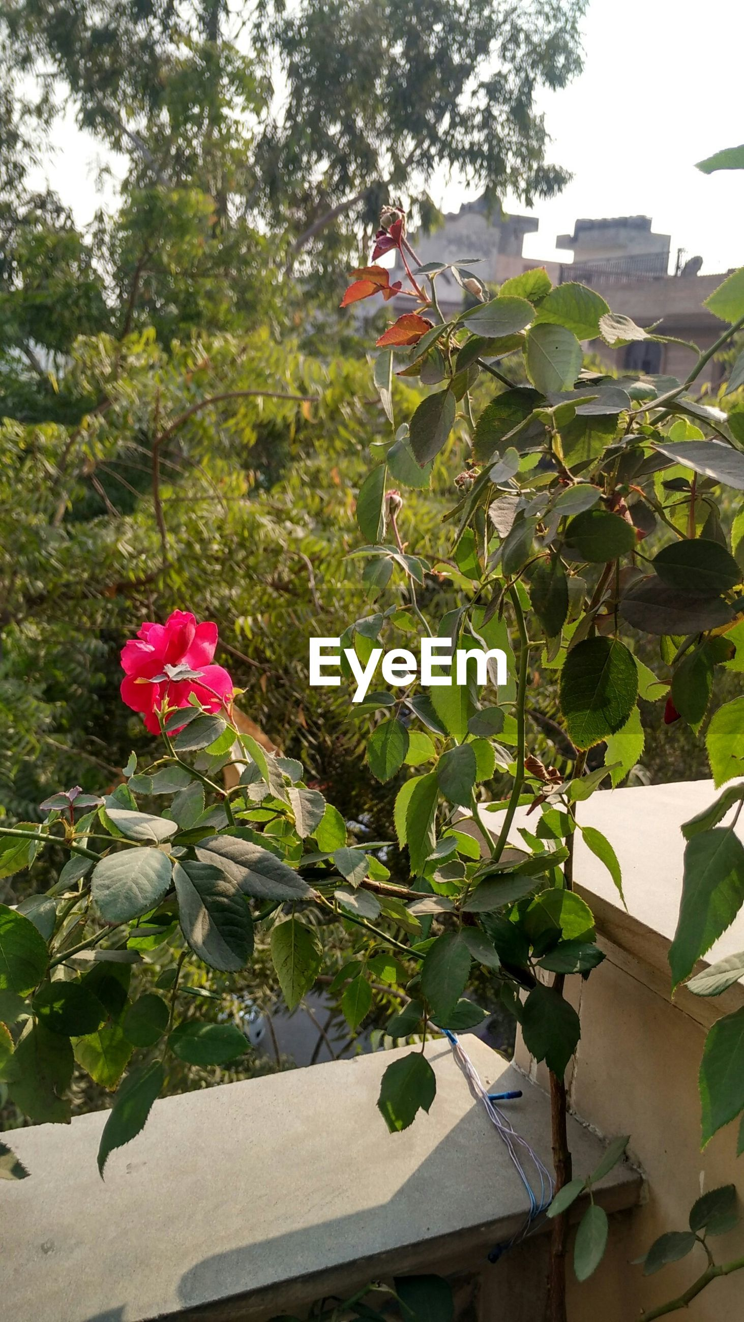growth, leaf, flower, plant, building exterior, freshness, built structure, architecture, fragility, green color, house, nature, beauty in nature, front or back yard, day, growing, potted plant, blooming, close-up, petal