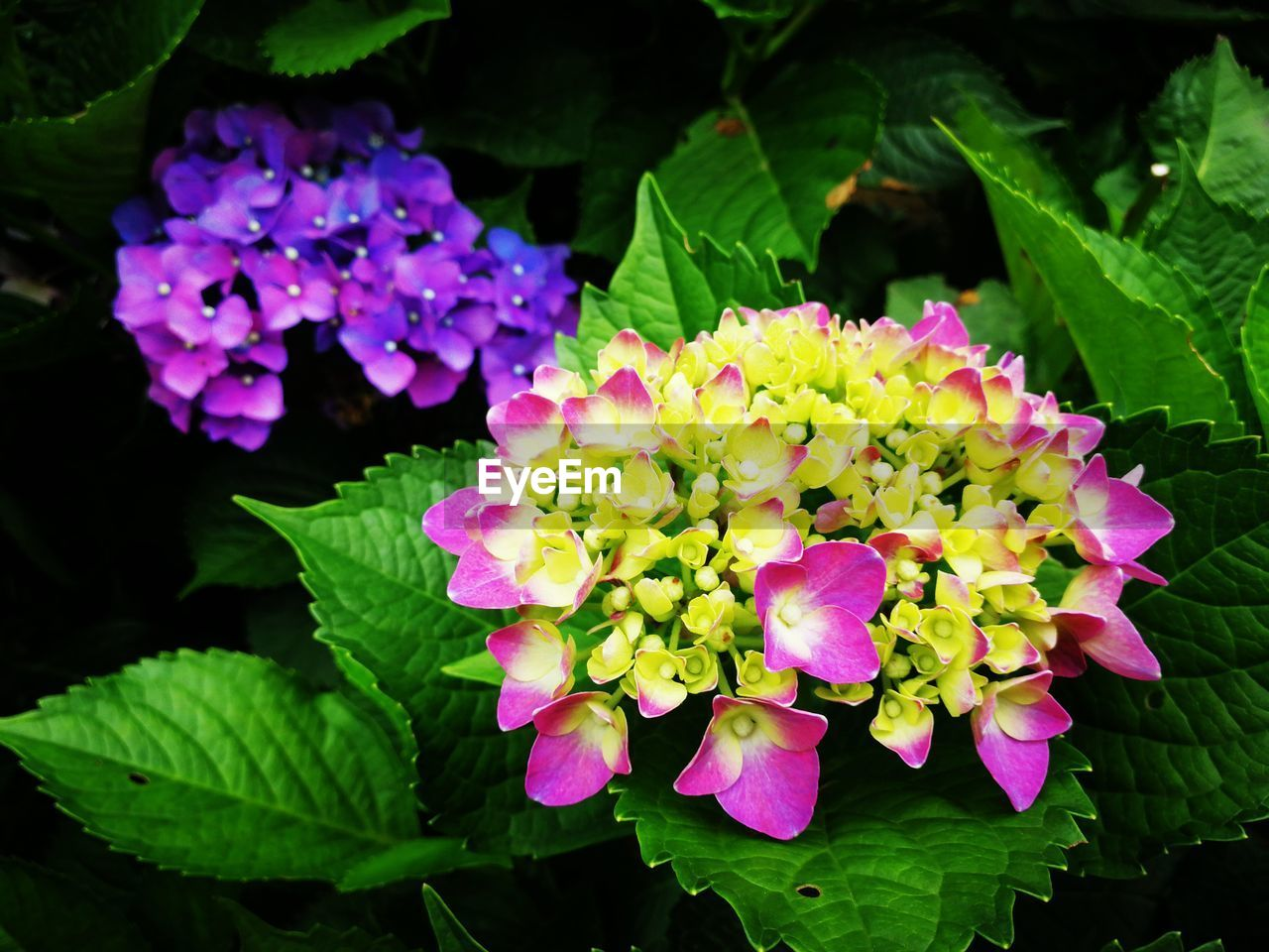 flower, beauty in nature, fragility, freshness, growth, petal, nature, plant, leaf, green color, flower head, pink color, blooming, outdoors, no people, day, lantana camara, close-up
